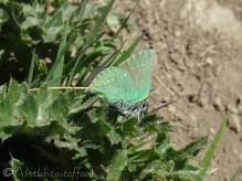 16 Green Hairstreak