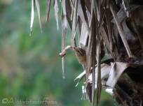 2 Wren nest building
