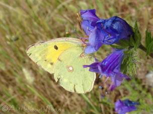 20 Clouded Yellow