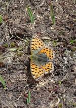 22 Queen of Spain fritillary
