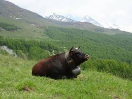 29 Contented Val d'Hérens cow