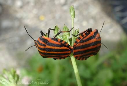 32 Mating shield bugs (graphosoma italicum)