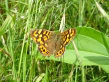34 Speckled Wood