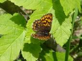 35 Duke of Burgundy