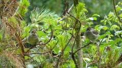 5 Two young Blackcaps