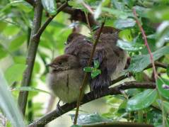 6 Three young Blackcaps
