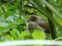7 Young Blackcap