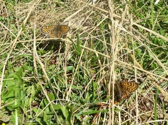 8 Two Glanville fritillaries