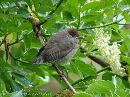 8 Young Blackcap