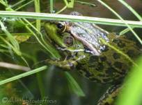 9 Arthur's frog
