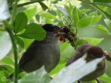 9 Male Blackcap returns with berry