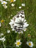 9 Marbled White