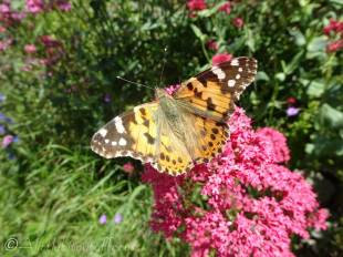 9 Painted Lady