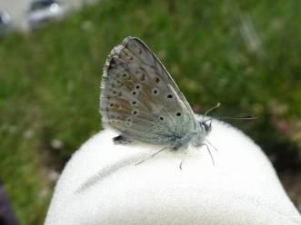 1 Chalkhill Blue underside