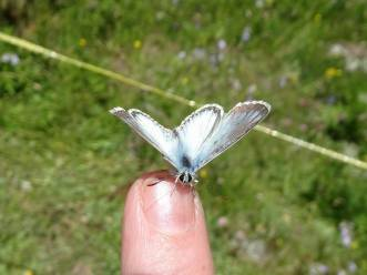 1 Chalkhill Blue upperside