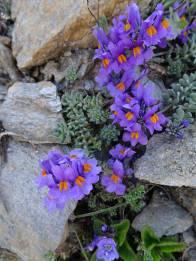 15 Alpine Toadflax