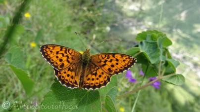 19 Lesser Marbled Fritillary (I'm guessing)