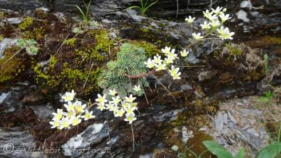 20 Possibly Musky Saxifrage