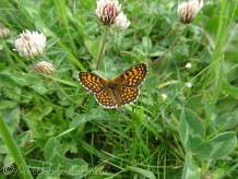 23 Heath Fritillary (I think)