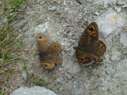 23 Pair of Large Wall Browns (I think)