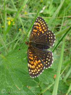 24 Heath Fritillary possibly