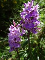 24 Heath Spotted-orchid