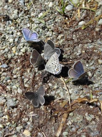 24 Puddling butterflies
