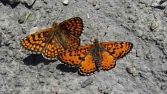 26 Nickerl's fritillary and Spotted fritillary