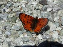 28 Spotted Fritillary