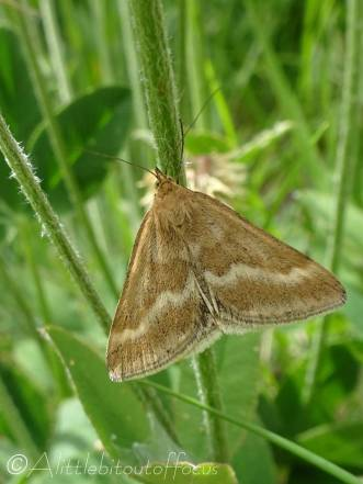 29 Brown moth
