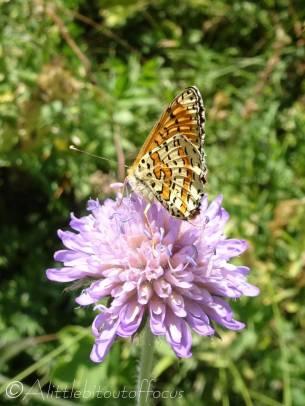 29 Spotted fritillary underside