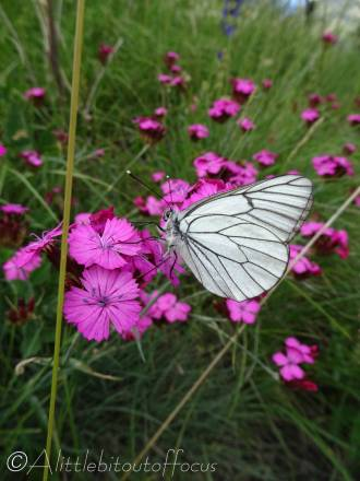 30 Black-veined White on Carthusian Pinks