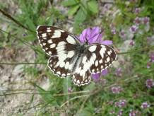33 Marbled white
