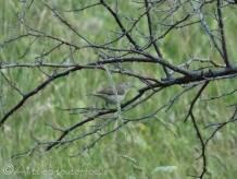 37 Bonelli's Warbler possibly