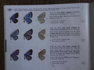 4 Large Blue (maculinea arion) identification - top