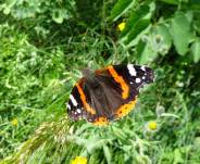 4 Red Admiral