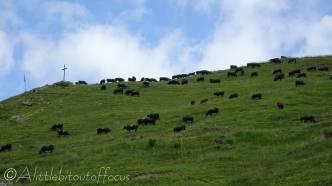4 Val d'Hérens cows