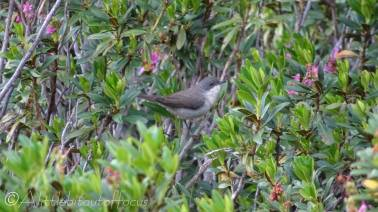 4 Whitethroat possibly