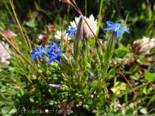 5 Alpine Gentian