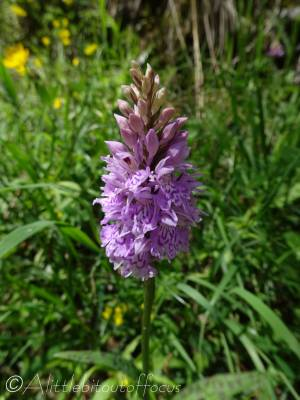 5 Heath Spotted Orchid