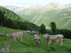 5 Inquisitive Swiss cows