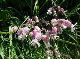 6 Bladder Campion with early morning dew