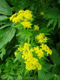 6 Tansy leaved rocket (I think)