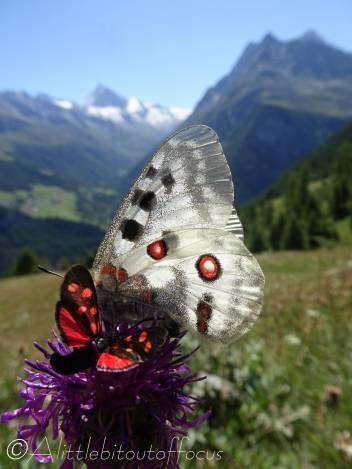 16 Apollo butterfly