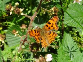 16 Comma butterfly upperside
