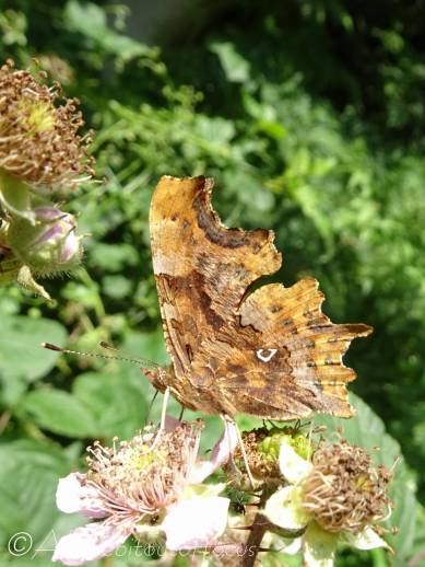 17 Comma butterfly underside