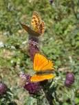 18 Female and male Scarce Copper