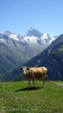 25 Cow