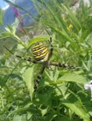 27 Wasp Spider