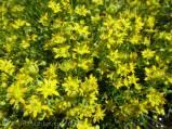 28 Yellow Saxifrage